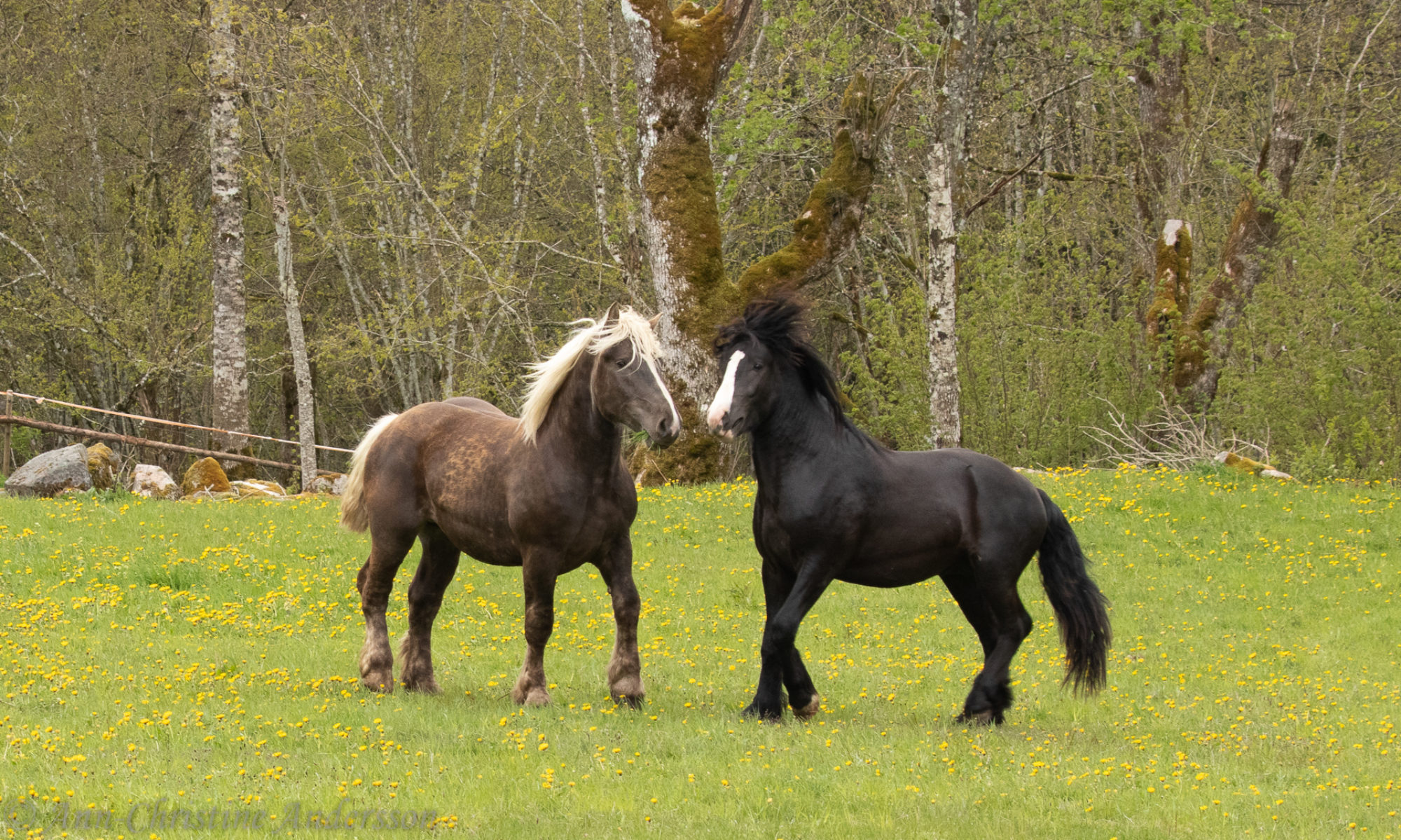 Föreningen Nordsvenska Hästen Södra Älvsborg